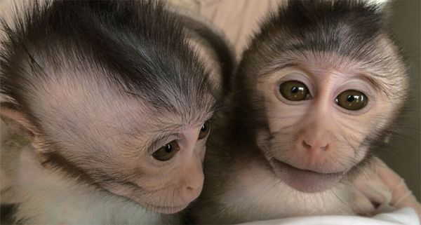 Monkeys with a human autism gene