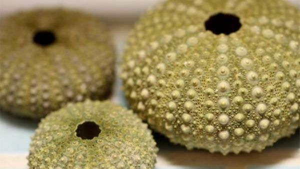 Sea Urchin sperm was sent to the space