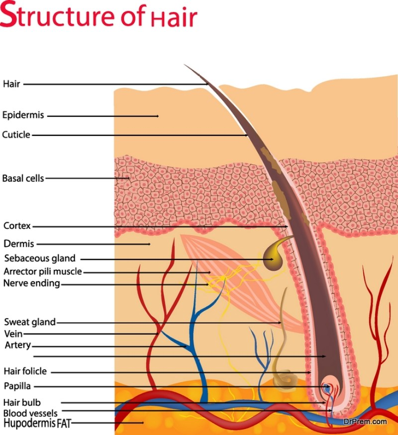 structure-of-hair