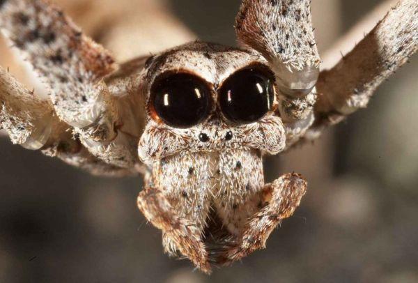 The ogre faced spider