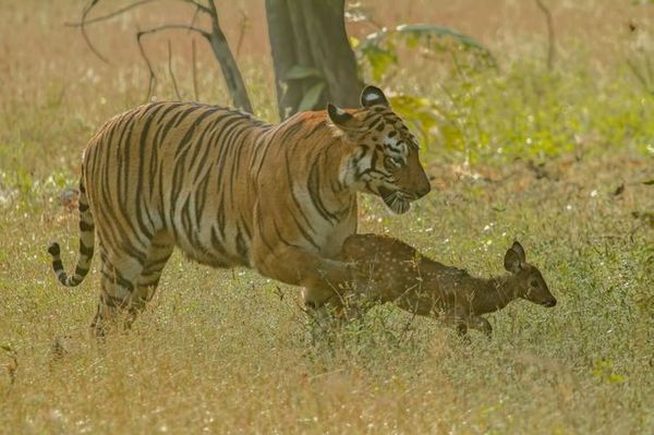 Adult Tigress and Baby Fawn