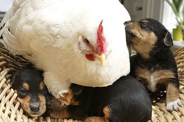 Chicken and Puppies