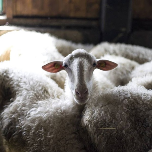 I Pascoli di Amaltea - Sheep