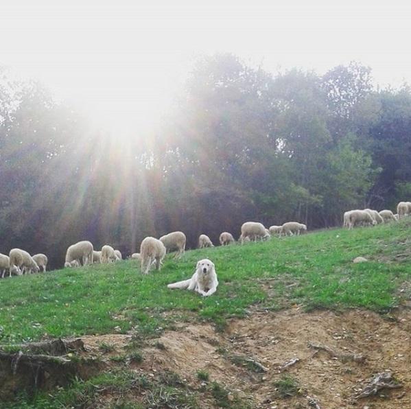 I Pascoli di Amaltea - Sheep Grazing