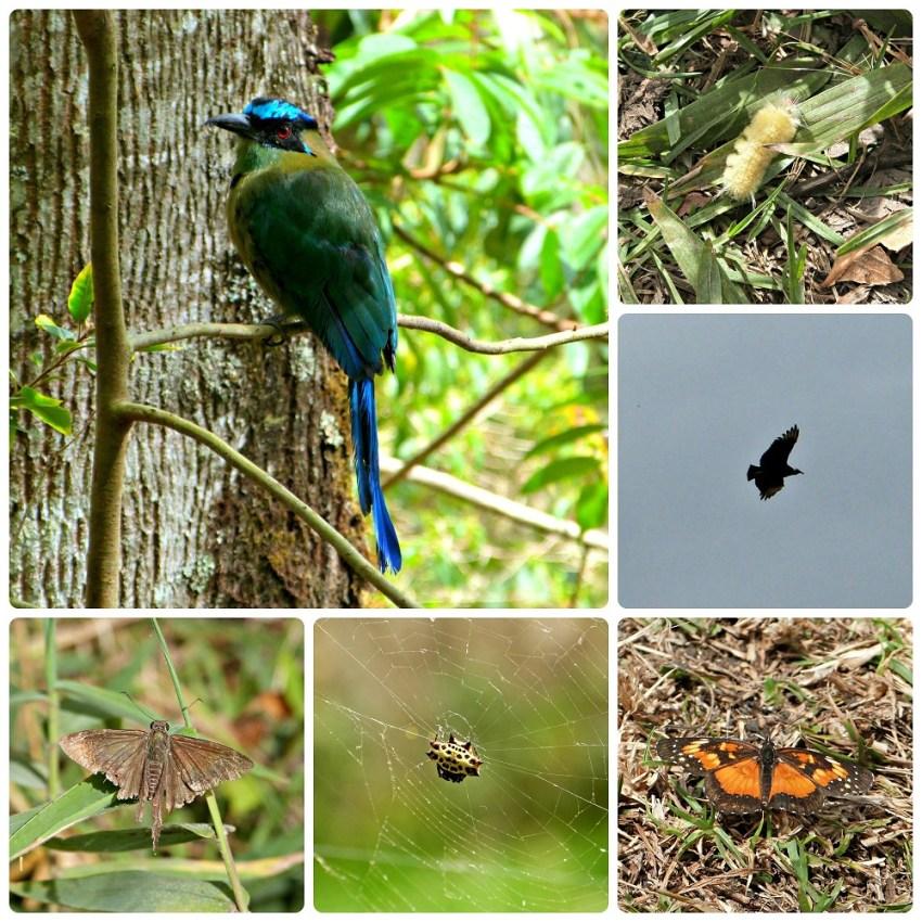 Oiseaux et insectes rencontrés à Salento : Momotus momota, Cathartidae, Gasteracantha