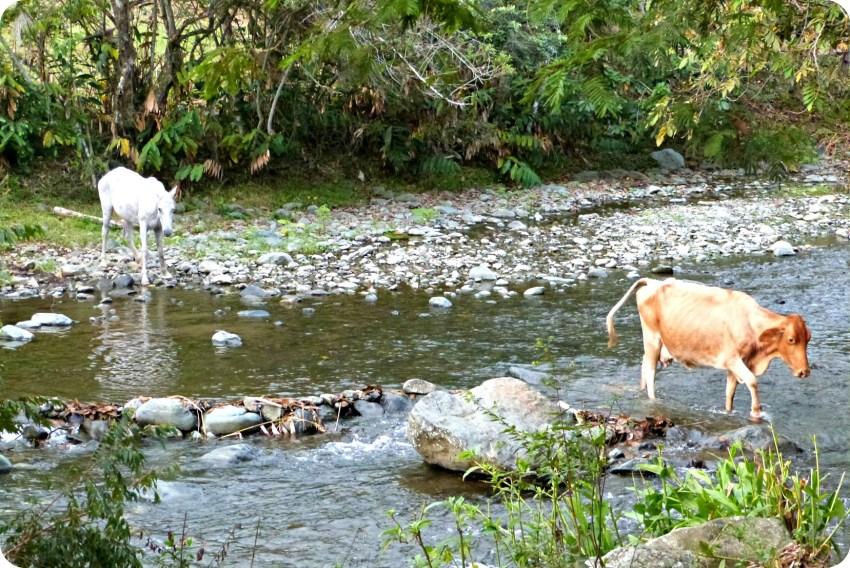Cheval et vache traversant la rivière dans le village de Portugal