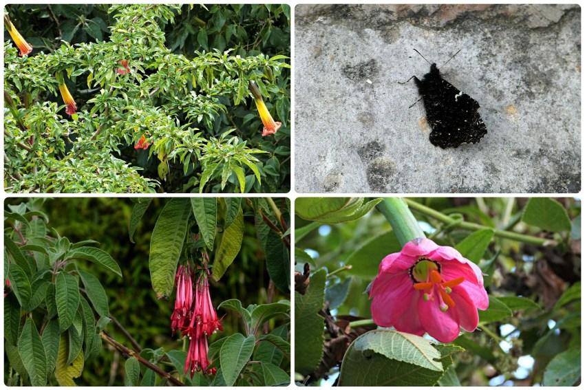 Papillon et fleurs rencontrés lors de la montée de Monserrate à Bogotá : Brugmansia, Passiflora