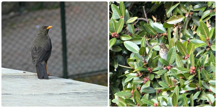 Photos des 2 merles à Bogotá : Turdus fuscater et Turdus ignobilis