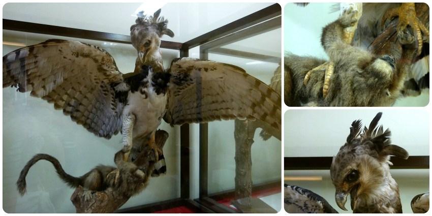 Aigle exposé au Musée d'histoire naturelle de Popayán