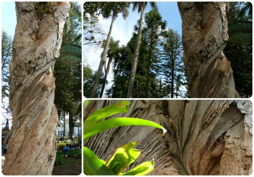 árbol en la plaza del Parque Caldas de Popayán