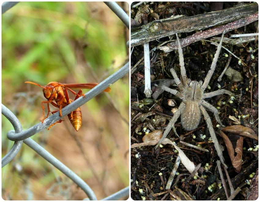 Insecte rencontrés à El Tambo près de Popayán : Lycosidae