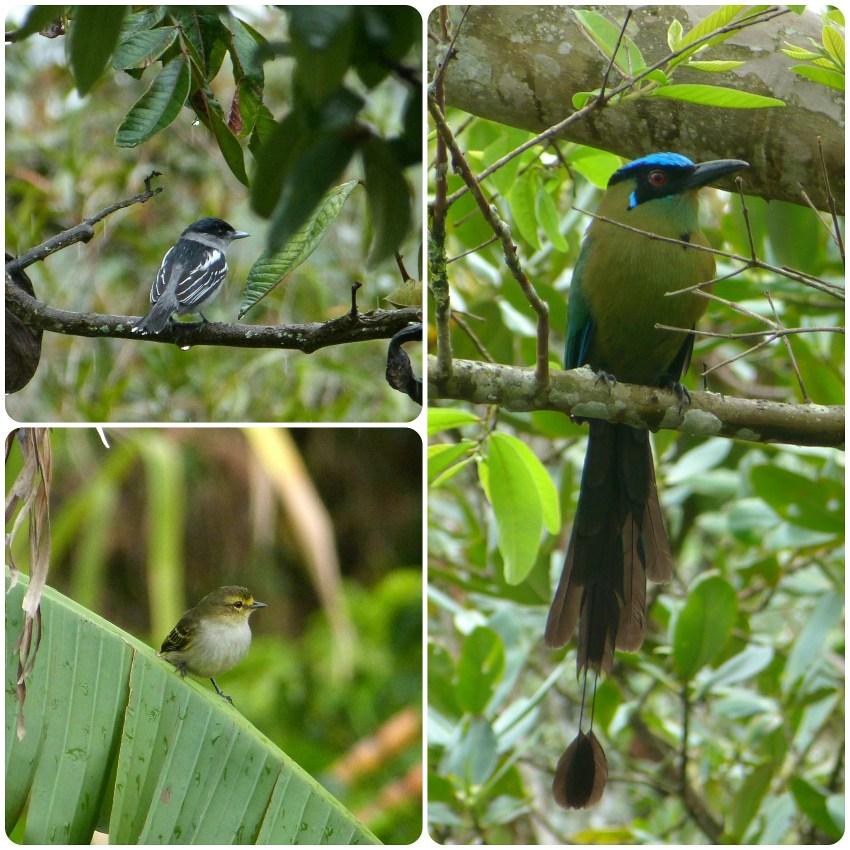 Aves encontradas en El Tambo cerca de Popayán : Pachyramphus polychopterus, Tyrannulus, Momotus momota