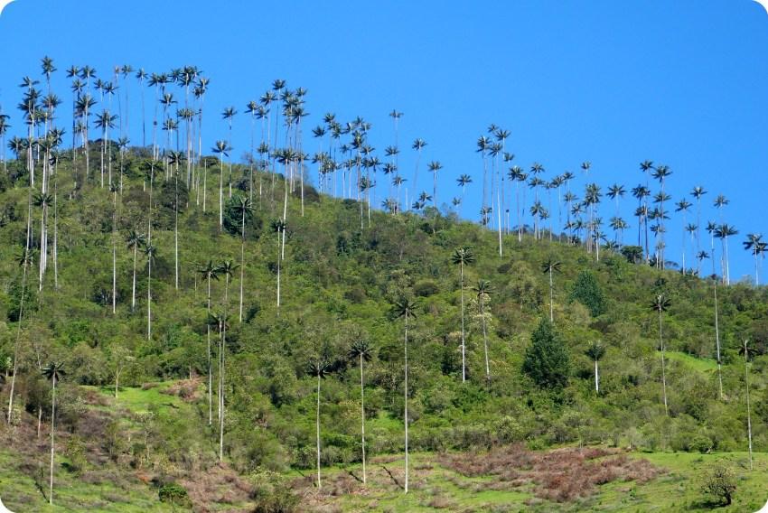 Forêt de palmiers à cire Ceroxylon quindiuense dans la vallée de Cocora