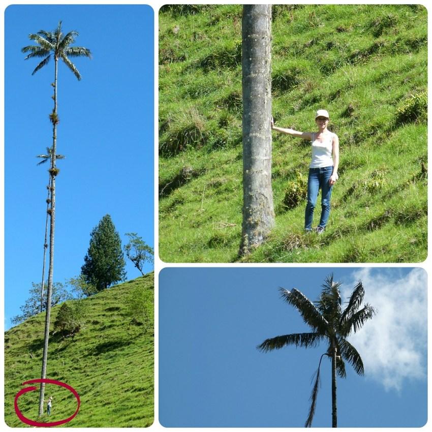 grandeur des palmiers à cire Ceroxylon quindiuense dans la vallée de Cocora