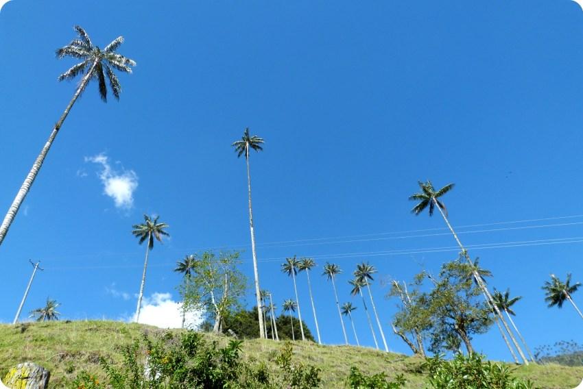 Contrapicado sobre las palmas de cera Ceroxylon quindiuense del valle de Cocora