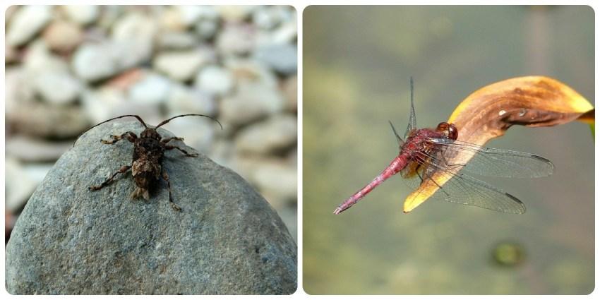 Cerambycidae y Odonata en el jardín botánico del Quindío en Calarcá