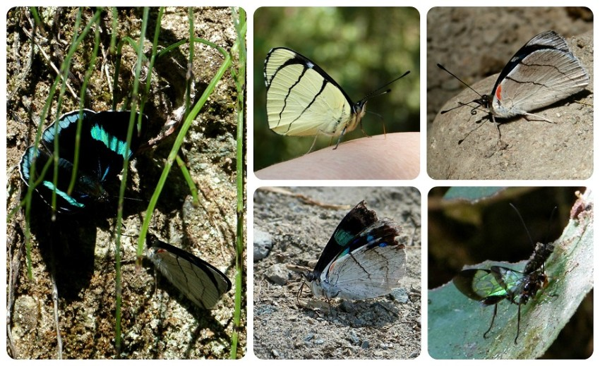 Papillons Perisama bomplandii et Perisama oppelii dans la vallée de Cocora