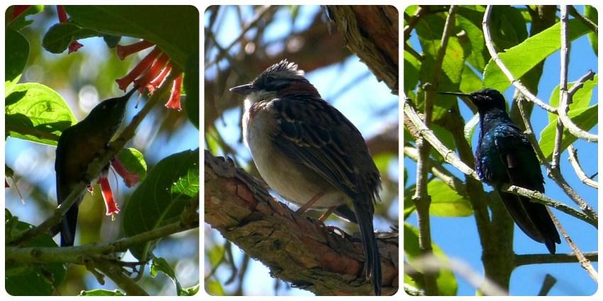 oiseaux rencontrés dans la vallée de Cocora : Lafresnaya lafresnayi, Zonotrichia capensis, Colibri coruscans