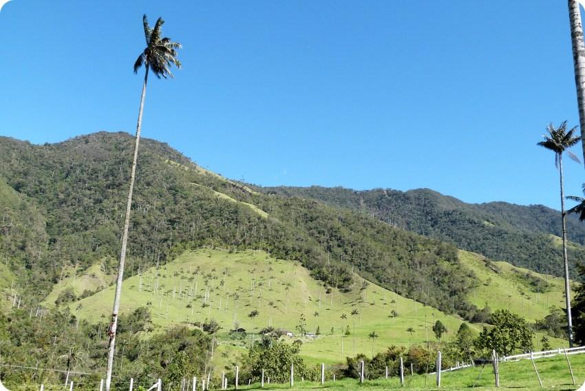 Ceroxylon quindiuense en el valle de Cocora
