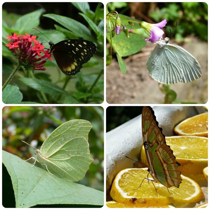 Tithorea tarricina, Pieridae, Siproeta stelenes en el mariposario del jardín botánico del Quindío en Calarcá