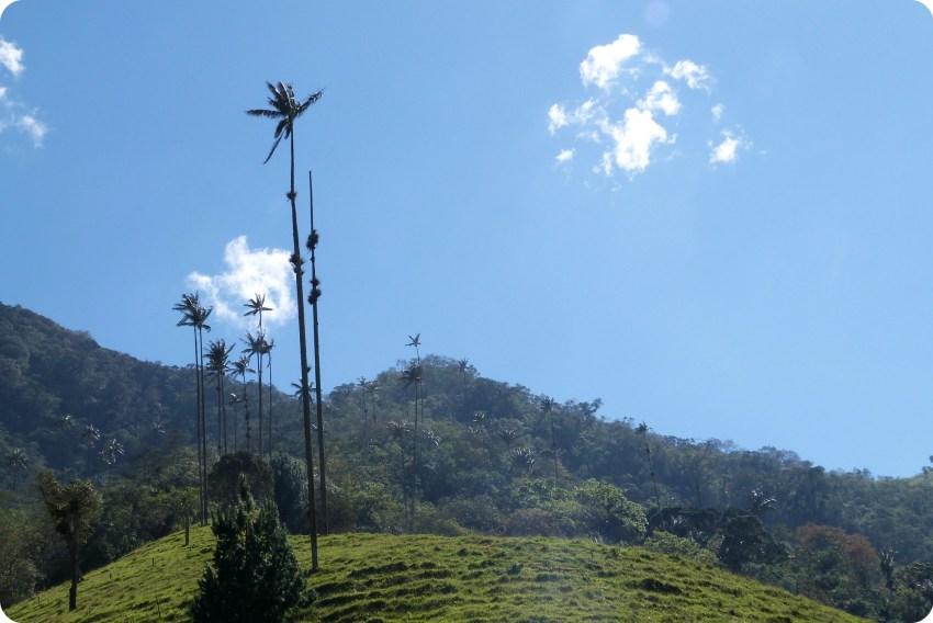 fila de palmas de cera Ceroxylon quindiuense en el valle de Cocora