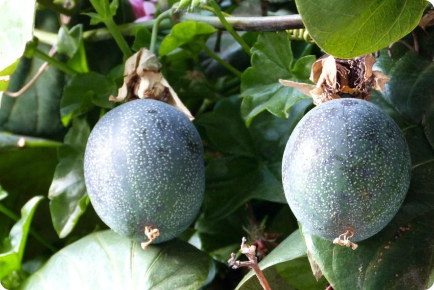 fruta de la pasiflora en el Santuario de las Lajas de Ipiales