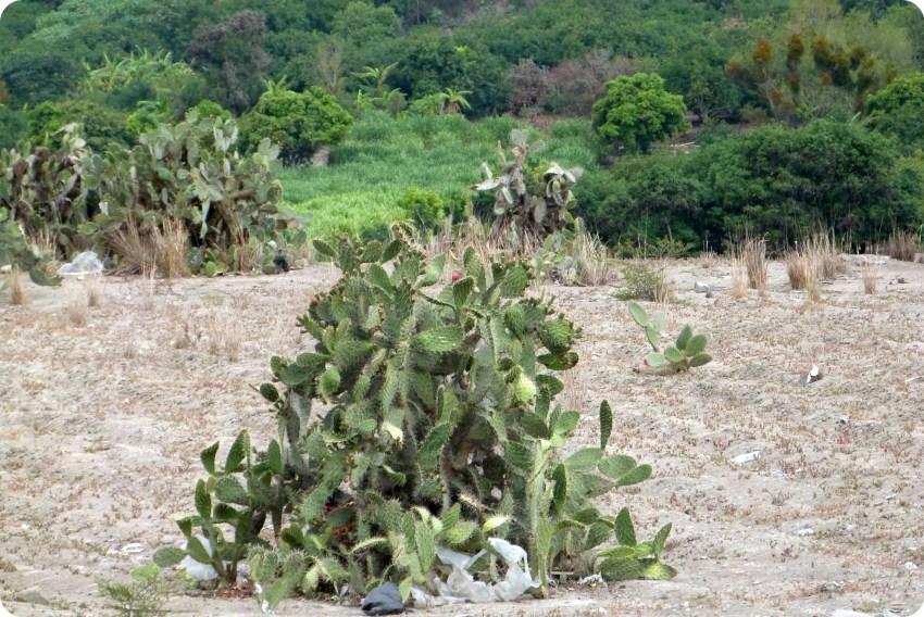 cactus sur la route entre Tulcán et Ibarra