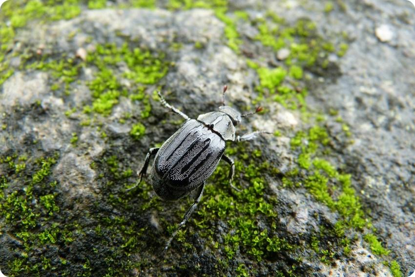Escarabajo en Santo Domingo de los Colorados