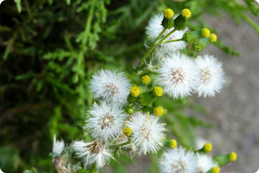 flores blancas en el cementerio de Tulcán