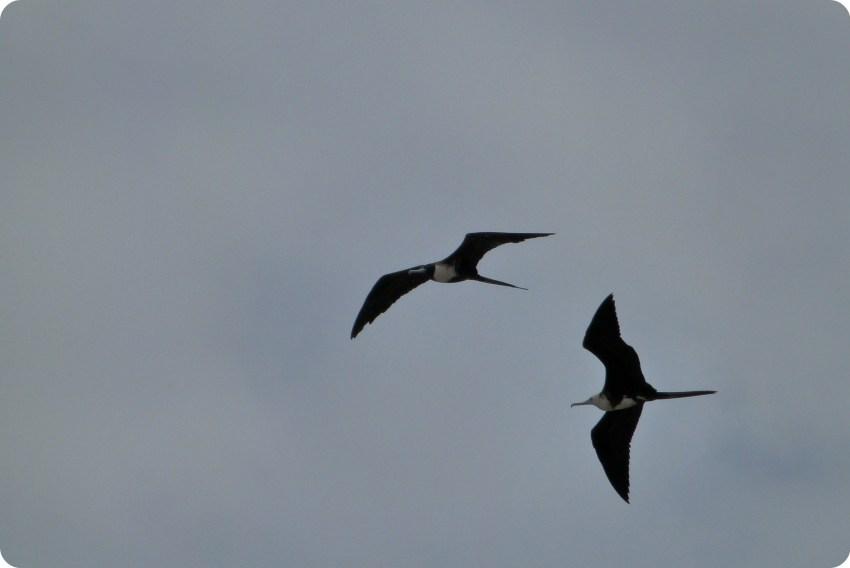 oiseaux dans le ciel de Pedernales : Fregata minor