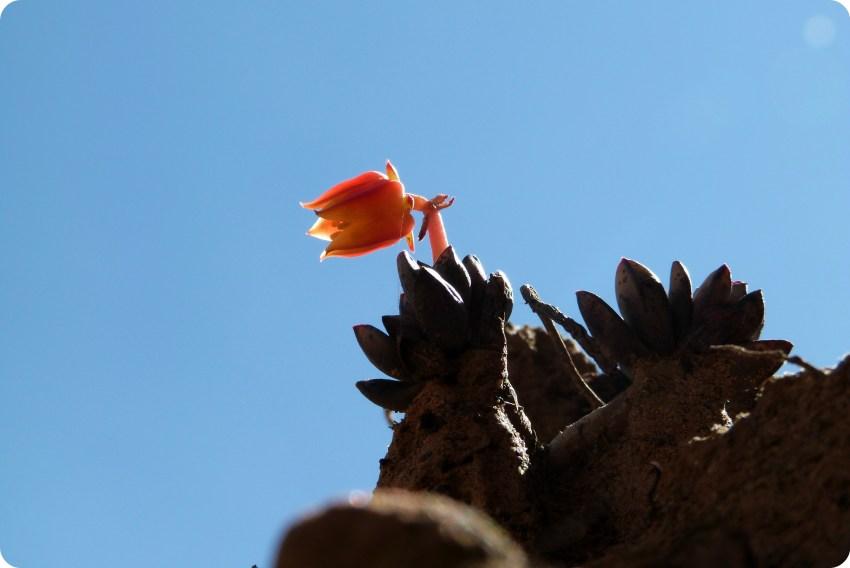fleur dans le désert de la tatacoita de Nemocón