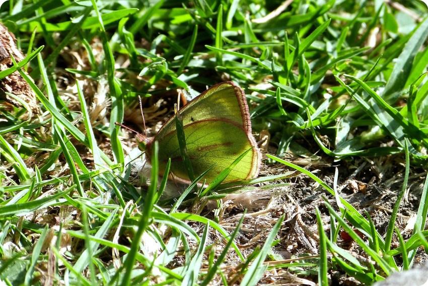 mariposa pieridae encontrada en el jardín botánico de Bogotá