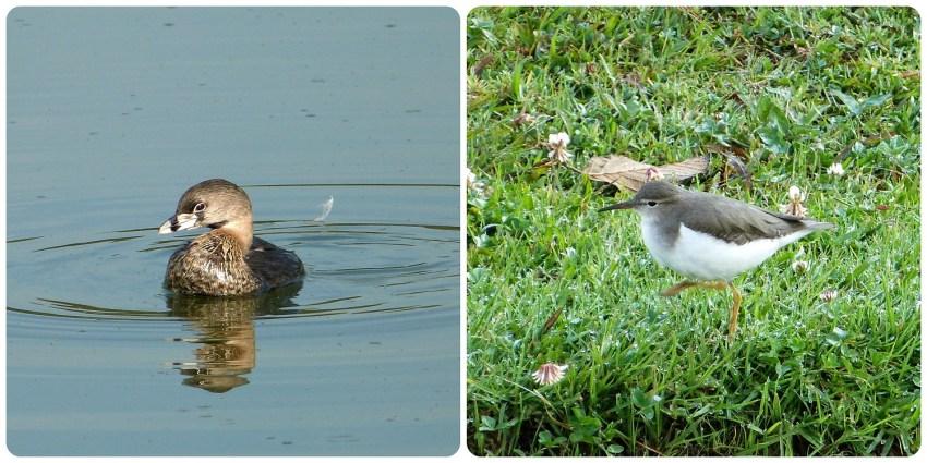 aves en el Parque Metropolitano Simon Bolivar : Podilymbus podiceps, Actitis macularius