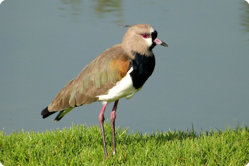 oiseau au Parque Metropolitano Simon Bolivar : Vanellus chilensis