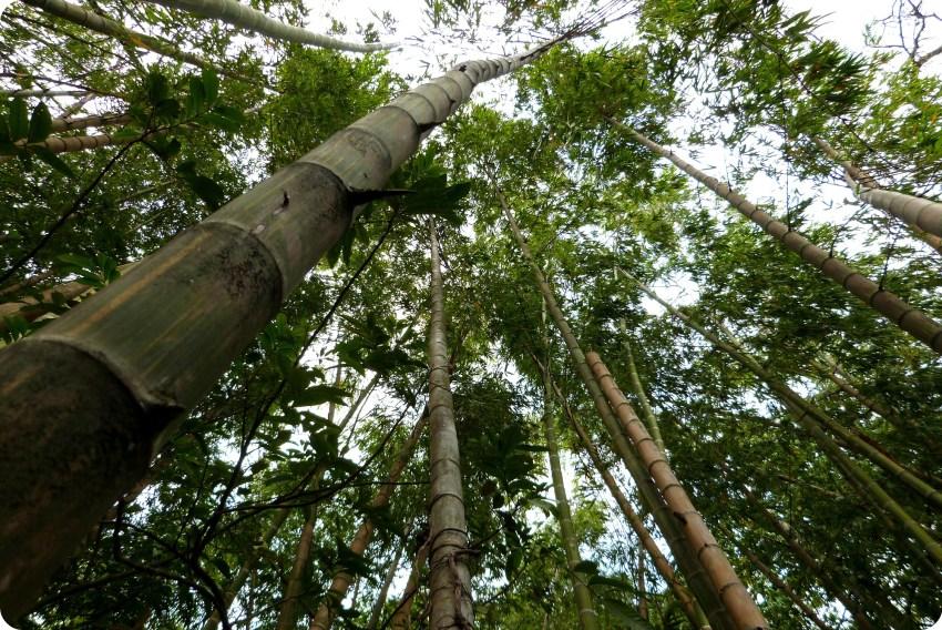 guadua en el jardín botánico de Medellín