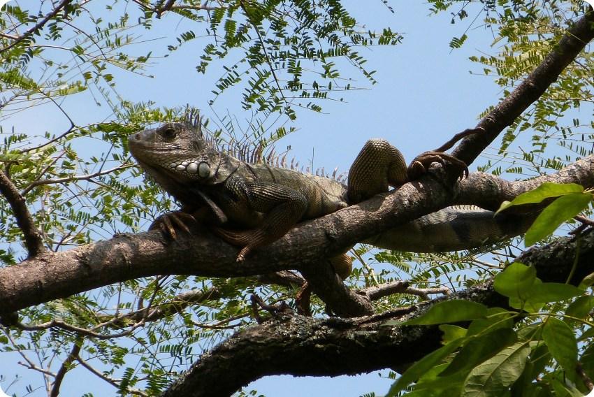 iguane dans un arbre du jardin botanique de Medellín