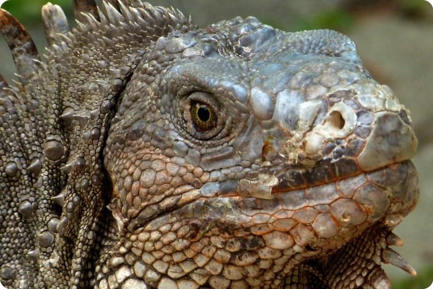tête d'un iguane au jardin botanique de Medellín