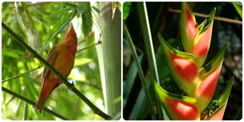ave y heliconia en el jardín botánico de Medellín : Piranga rubra