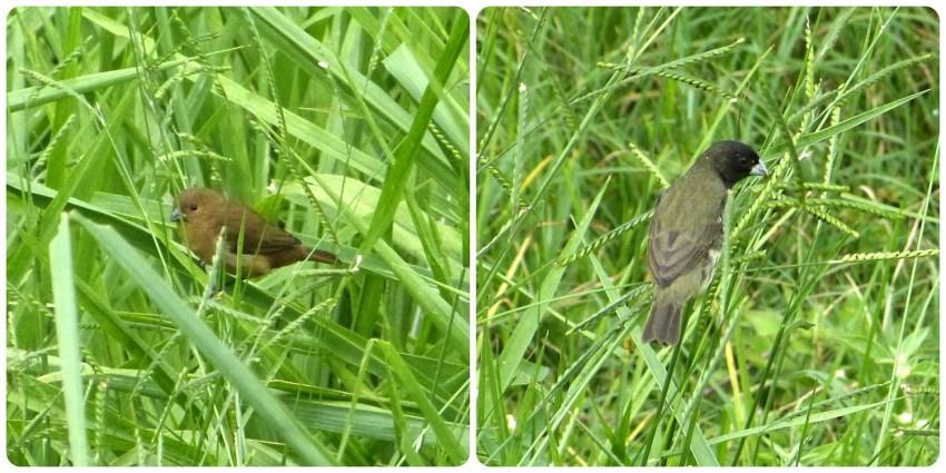 aves (macho y hembra) encontrados en el Pueblito Paisa de Medellín : Sporophila nigricollis