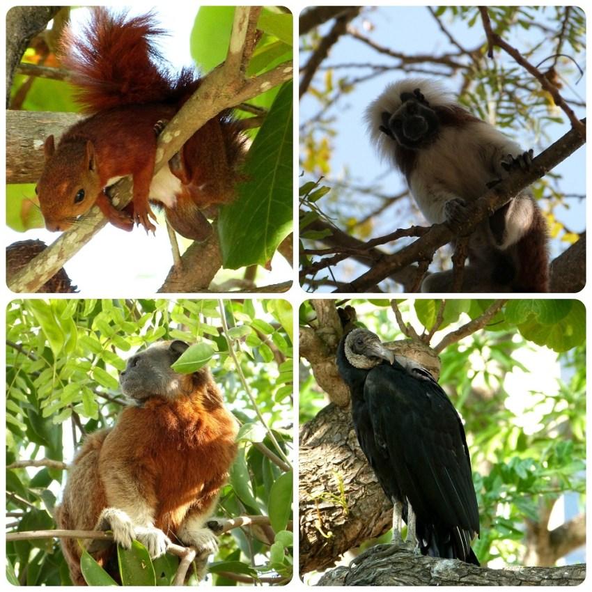 animales en los árboles del Parque Centenario de Carthagène : Sciurus granatensis, Saguinus oedipus, Saguinus leucopus et Coragyps atratus