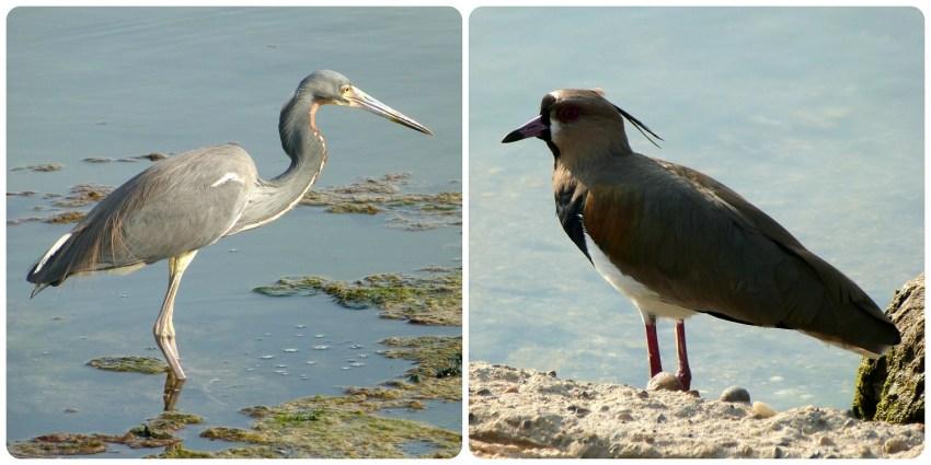 Oiseaux au bord de l'eau à Carthagène : Egretta tricolor et Vanellus chilensis