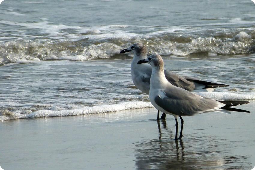 gaviotas al lado del mar en Cartagena de Indias: Leucophaeus atricilla