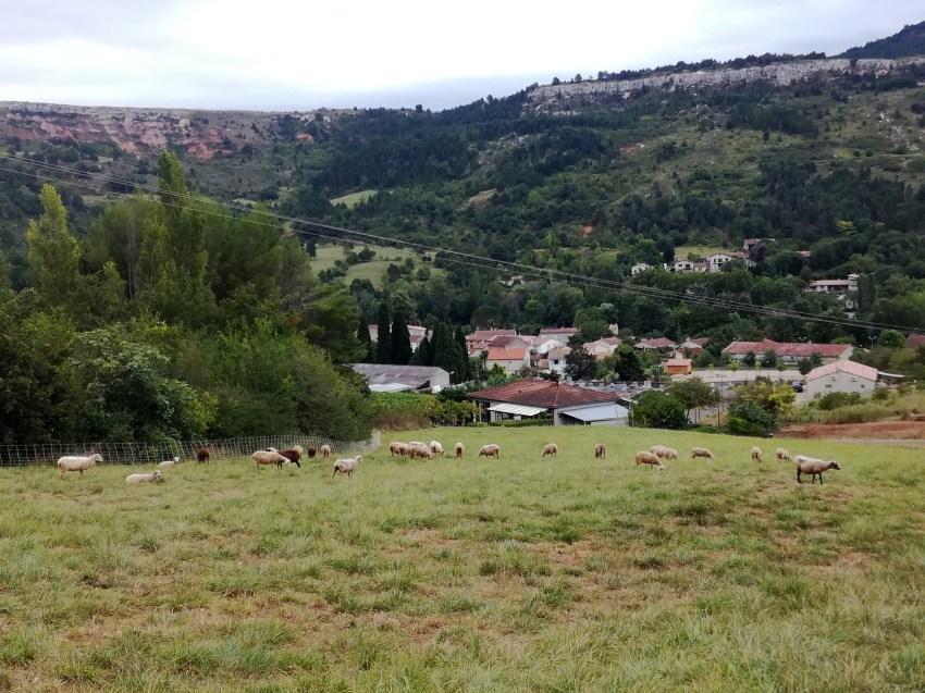 troupeau moutons campagne sur aude voyage vélo