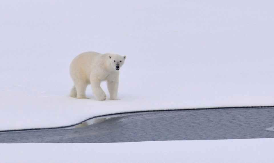 white polar bear on white snowy field near canal during daytime