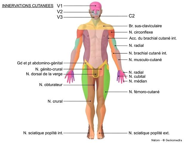 Métier de Rebouteux : Innervations cutanées