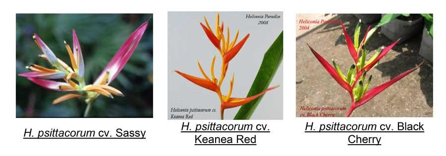 Como realizar o cultivo de helicônia passo a passo