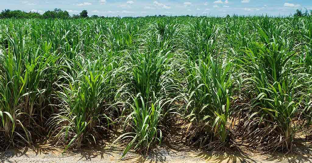 manejo da cultura da cana-de-açúcar