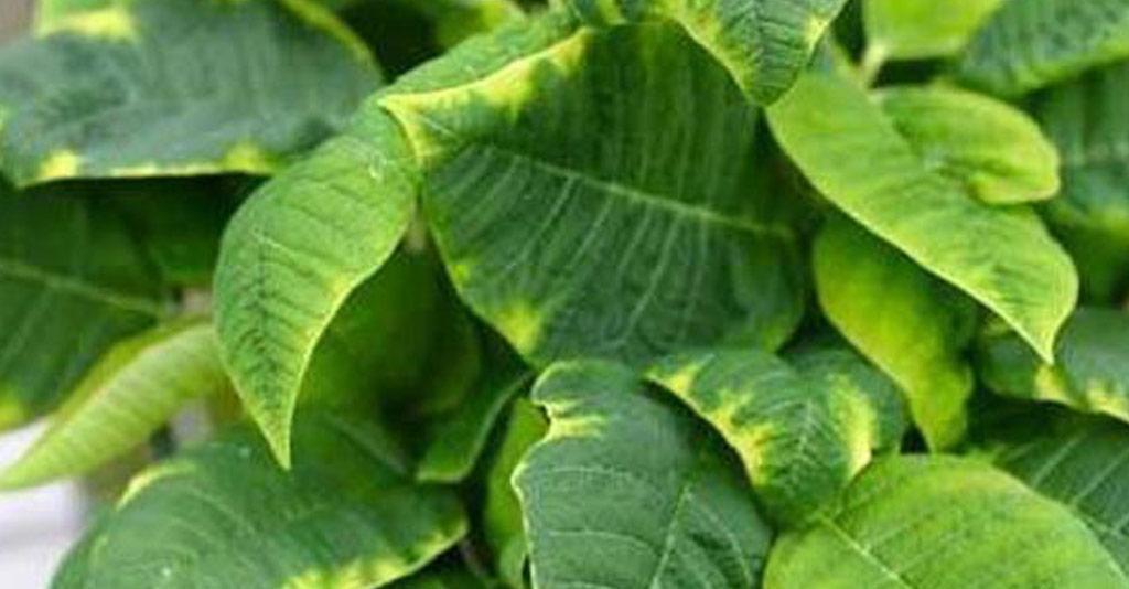 Como o molibdênio influencia no metabolismo das leguminosas