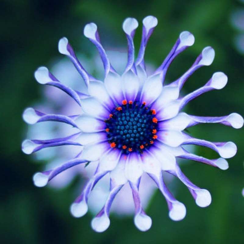 50PCs Rare Blue Daisy Plants Flower Seeds Exotic Ornamental Flowers     Preview