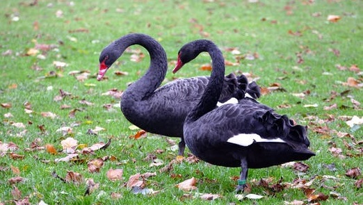 black swan re insurance pool ideas pandemics